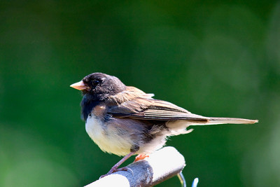 Oregon Junco-another new one!