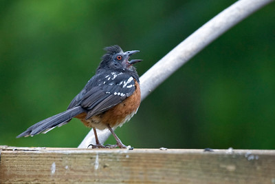New bird number 3, a spotted towhee.  If you look closely at this bird, you can see that he is missing the feathers on his face.