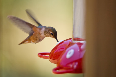 Rufous Hummingbird-new one for me!