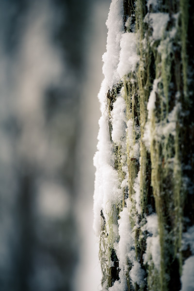 Stevens Pass, Lanham Lake - Snow clinging to the side of a moss covered tree