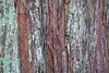 Snohomish, Lord Hill - Close up of colorful bark on a hemlock tree
