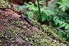 Gold Bar, Wallace Falls - Black slug exploring a moss covered tree