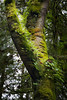 Snohomish, Lord Hill - Moss and ferns covering the trunk of a large oak tree with a split in trunk