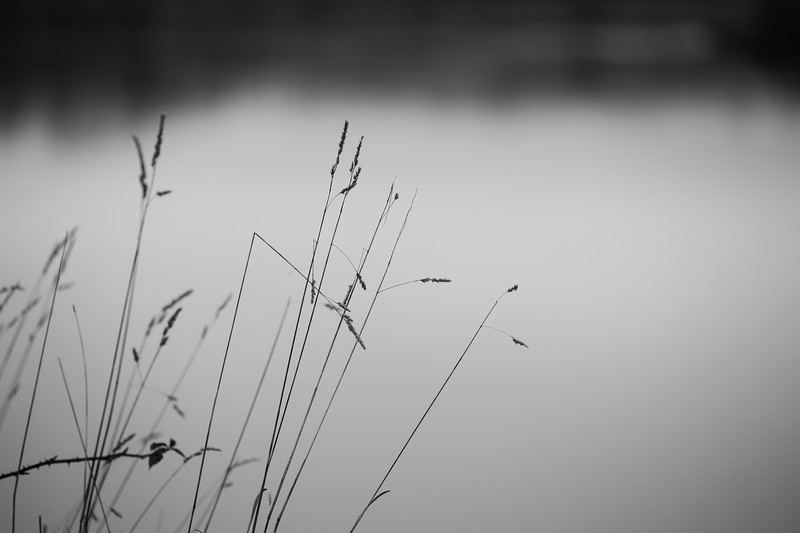 Everett, Langus Riverfront Park - Bent grass in black and white