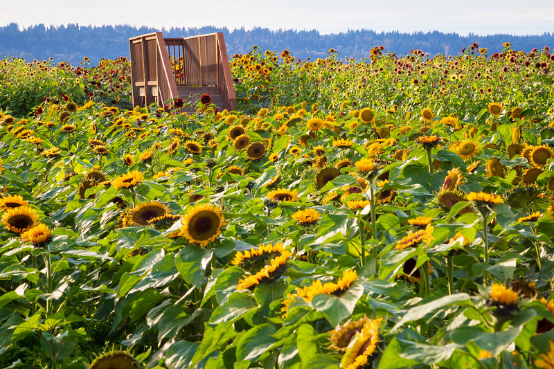 Snohomish, Stocker Farms - Field of suflowers with viewing platform