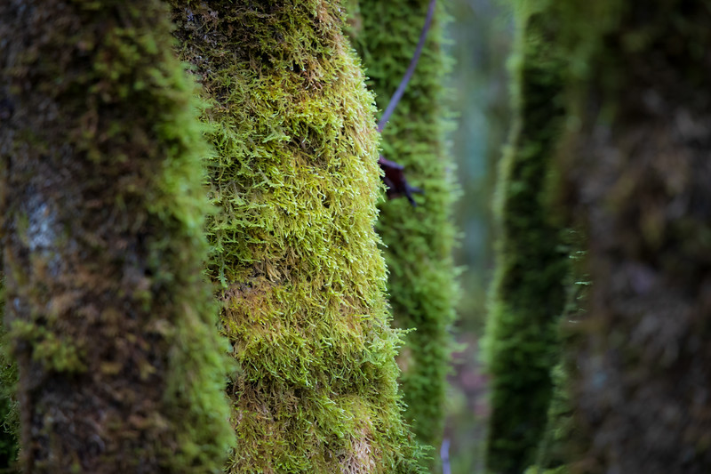 Snohomish, Lord Hill - Moss covering the trunk of a collection of trees