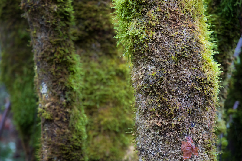 Snohomish, Lord Hill - Moss covering the trunk of a tree