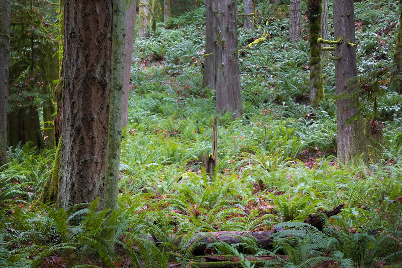 Snohomish, Lord Hill - Small clearing in forest with green ferns