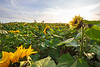 Snohomish, Stocker Farms - Field of yellow sunflowers with sunstar