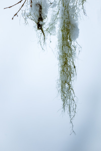 Stevens Pass, Lanham Lake - Snow clinging to moss hanging from a tree in abstract
