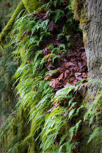 Snohomish, Lord Hill - Ferns growing on large tree trunks