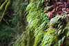 Snohomish, Lord Hill - Ferns growing on large tree trunks, horizontal