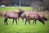 Snoqualmie, Meadowbrook - Small bull elk chasing cow