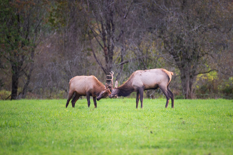 Snoqualmie, Meadowbrook - Two small bull elk sparring
