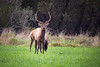 Snoqualmie, Meadowbrook - Small bull elk looking at camera