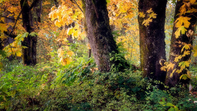 Carnation, Tolt River - Scenic close up of three large tree trunks and the forest floor in fall color