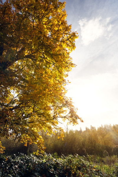 Duvall, Crescent Lake - Backlit maple tree in fall colors