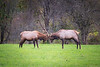 Snoqualmie, Meadowbrook - Two small bull elk sparring and staring at each other