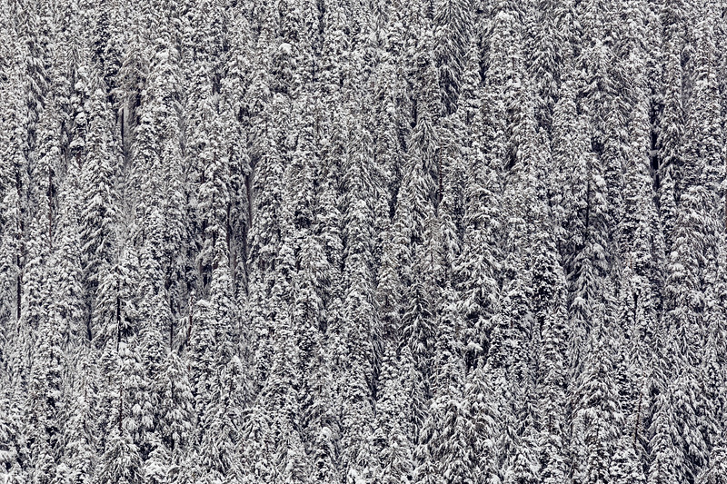 Snoqualmie Pass, PCT South - Abstract of evergreen trees in a fresh coat of snow