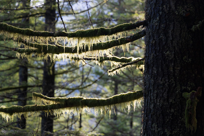 North Bend, Rattlesnake - Backlit moss hanging from a large tree