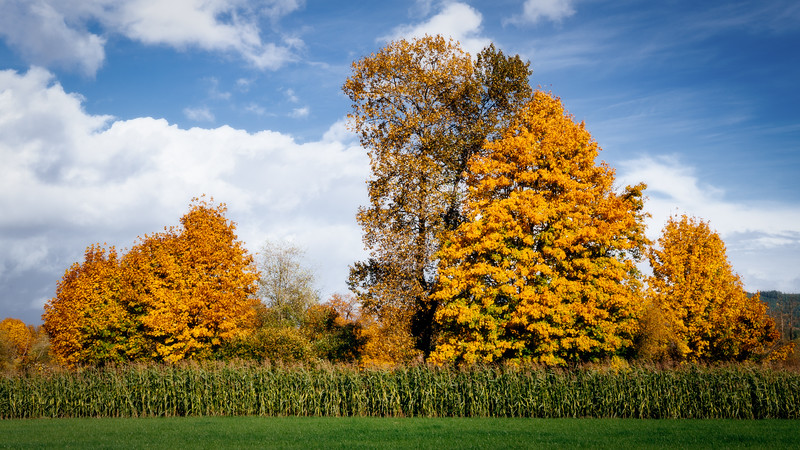 Duvall, Crescent Lake - two stands of maples in fall color above a corn field against a blue sky
