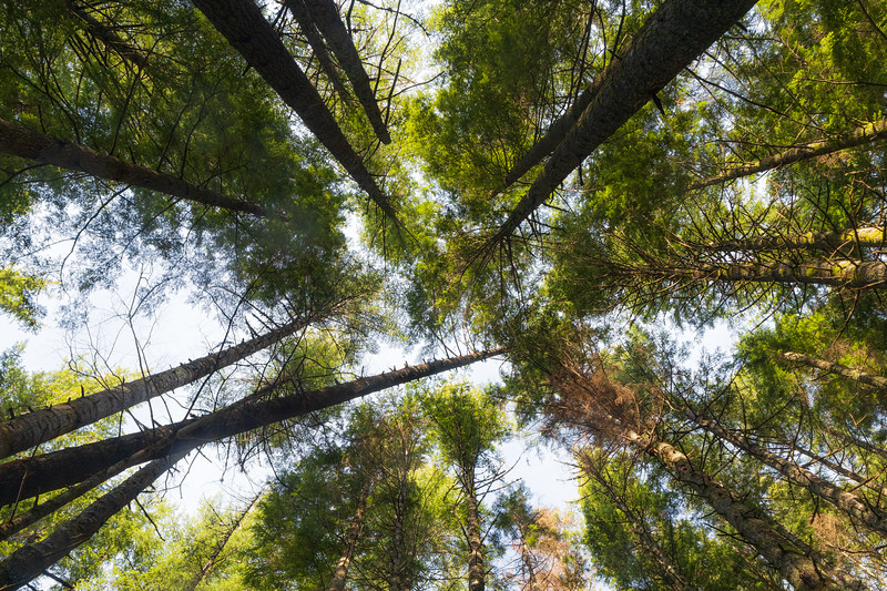 North Bend, Rattlesnake - Forest canopy seen from below with leaning trees