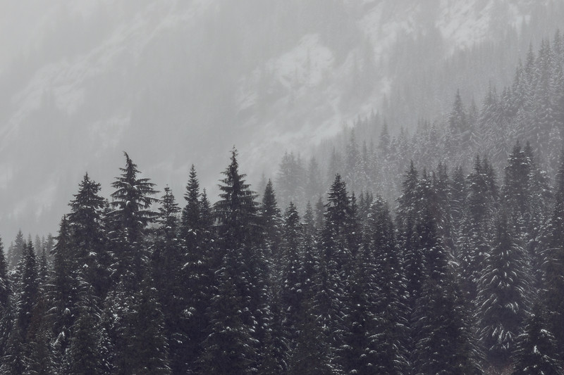 Snoqualmie Pass, Gold Creek Pond - A row of evergreen trees in a snowstorm with hill behind