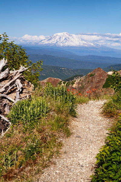 St. Helens, Plains of Abraham - Flower-lined trail with Mt. Adams in distance