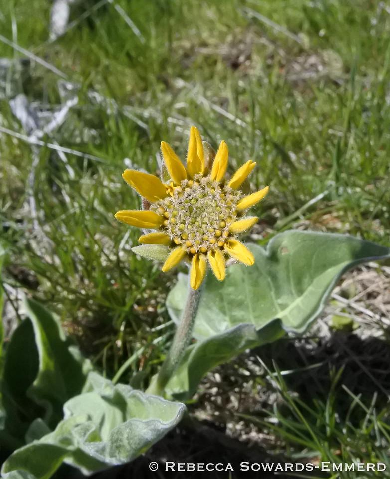 Arrowleaf Balsamroot is starting to bloom