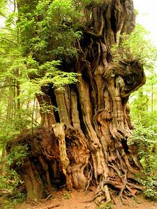 Really big cedar
