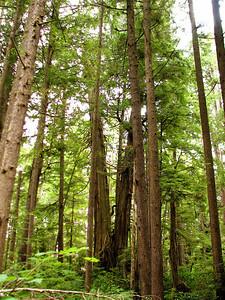 Other cedars