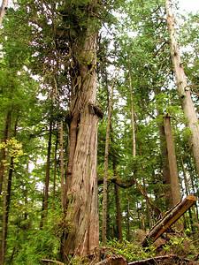 Other cedar