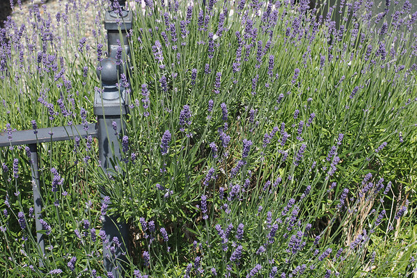 Spike lavender holding up a fence