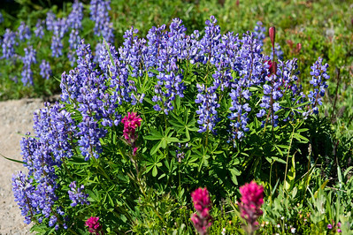 Broadleaf lupine, Harsh paintbrush anda stalk of bistort not yet in bloom