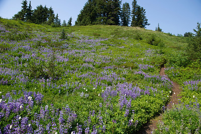Lupine and bistort near Rampart Ridge