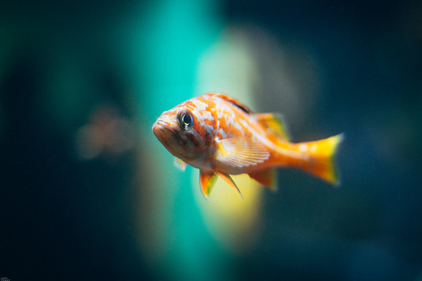 Baby Rockfish