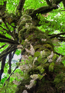 Big leaf maple trees drapped in moss, wood ferns and sword ferns in the temperate rain forest of the Hoh, Olympic National Park, Washington