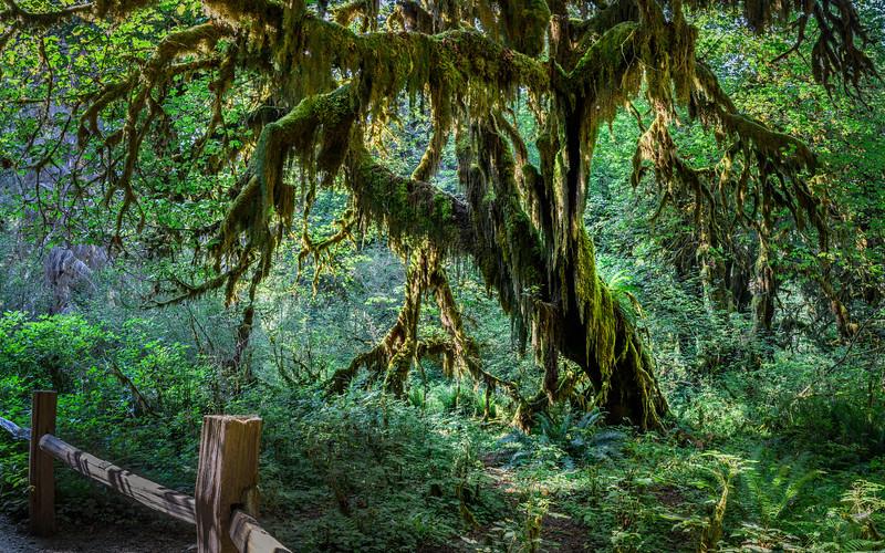 Moss Maple