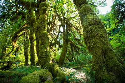 The Hoh Rain Forest in Olympic National Park. The temperate forest receives around 12 feet of rain a year which allows prolific growth from douglar firs, cedars, bigleaf maples and dozens of species of moses and lichens to grow and flourish into an emerald forest.  Photo by Kyle Spradley | © Kyle Spradley Photography | www.kspradleyphoto.com