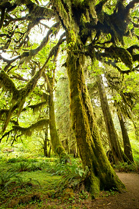 The Hoh Rain Forest in Olympic National Park. The temperate forest receives around 12 feet of rain a year which allows prolific growth from douglar firs, cedars, bigleaf maples and dozens of species of moses and lichens to grow and flourish into an emerald forest.  Photo by Kyle Spradley   © Kyle Spradley Photography   www.kspradleyphoto.com