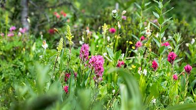 Cascade Range Wildflowers