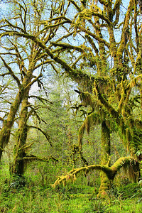 Lake Quinault Rainforest, WA