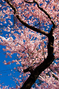 Cherry Blossoms, Washington, D.C., April 2008.