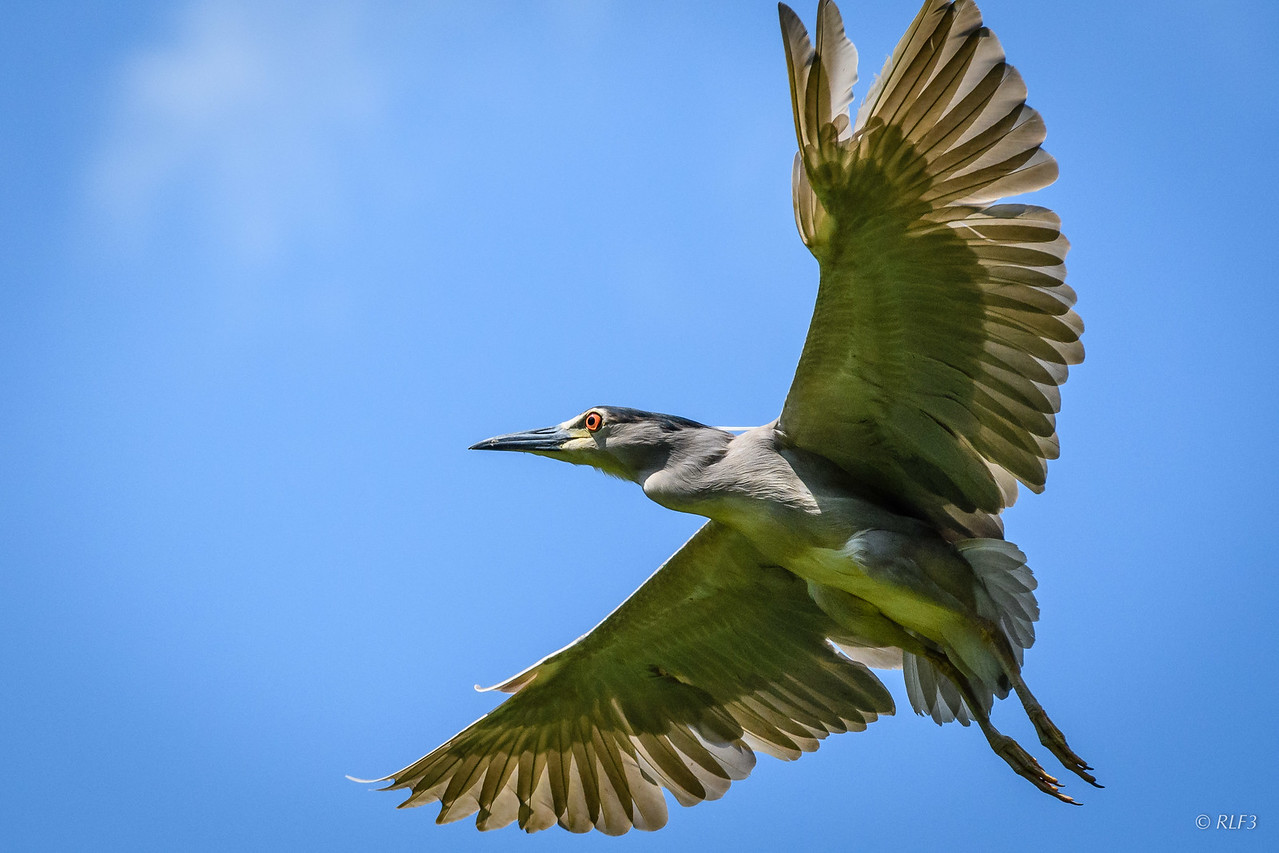 An adult Black-Crowned Night Heron in flight.