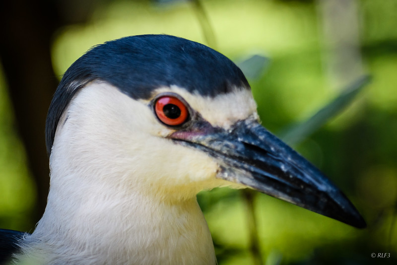An adult Black-Crowned Night Heron.
