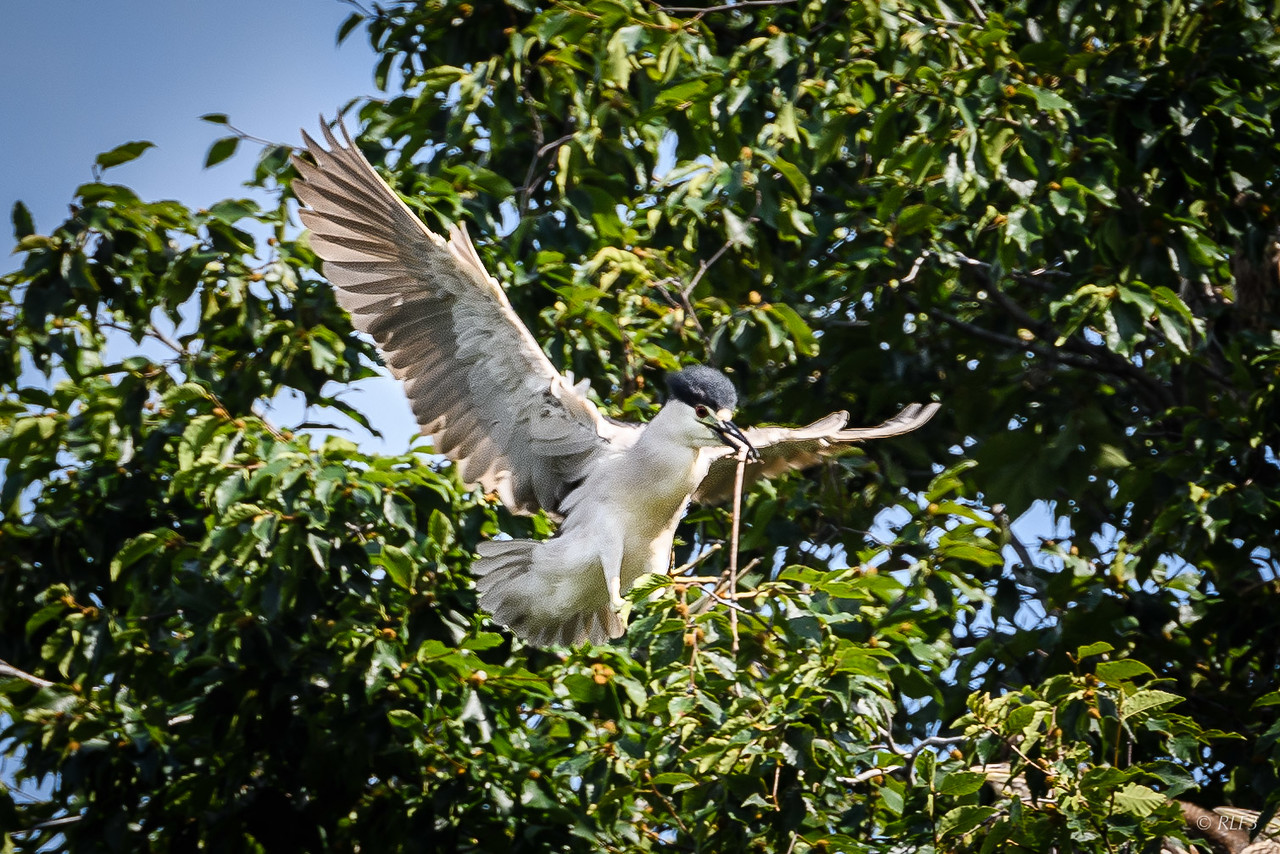 An adult Black-Crowned Night Heron carries a stick to add to its nest.