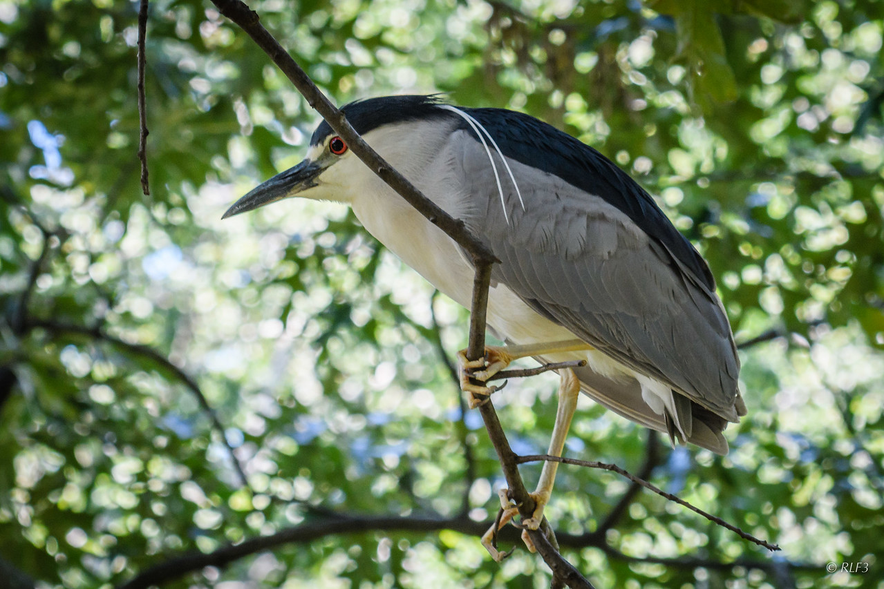 An adult Black-Crowned Night Heron.