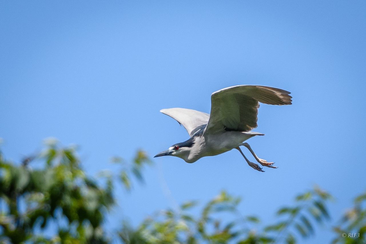 An adult Black-Crowned Night Heron taking off.