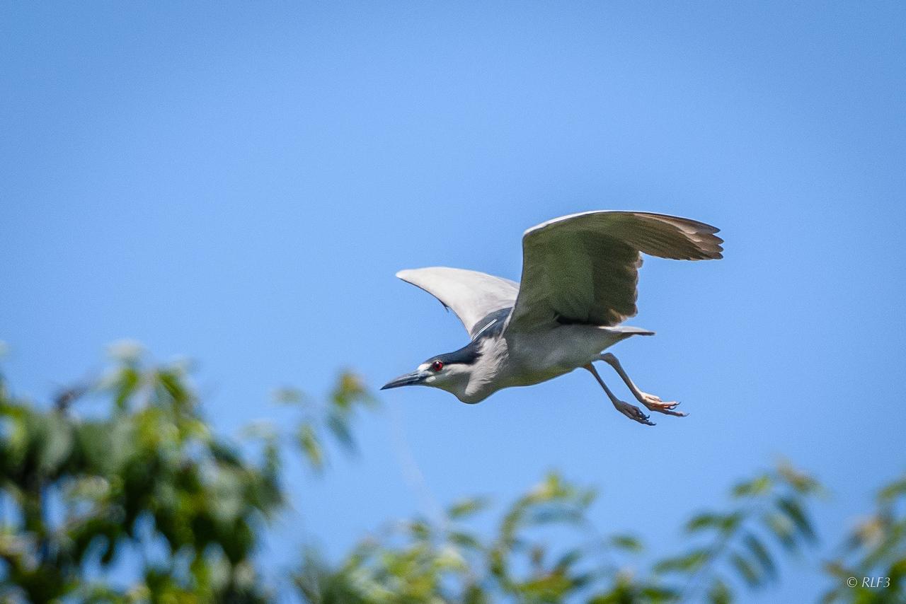An adult Black-Crowned Night Heron taking off.
