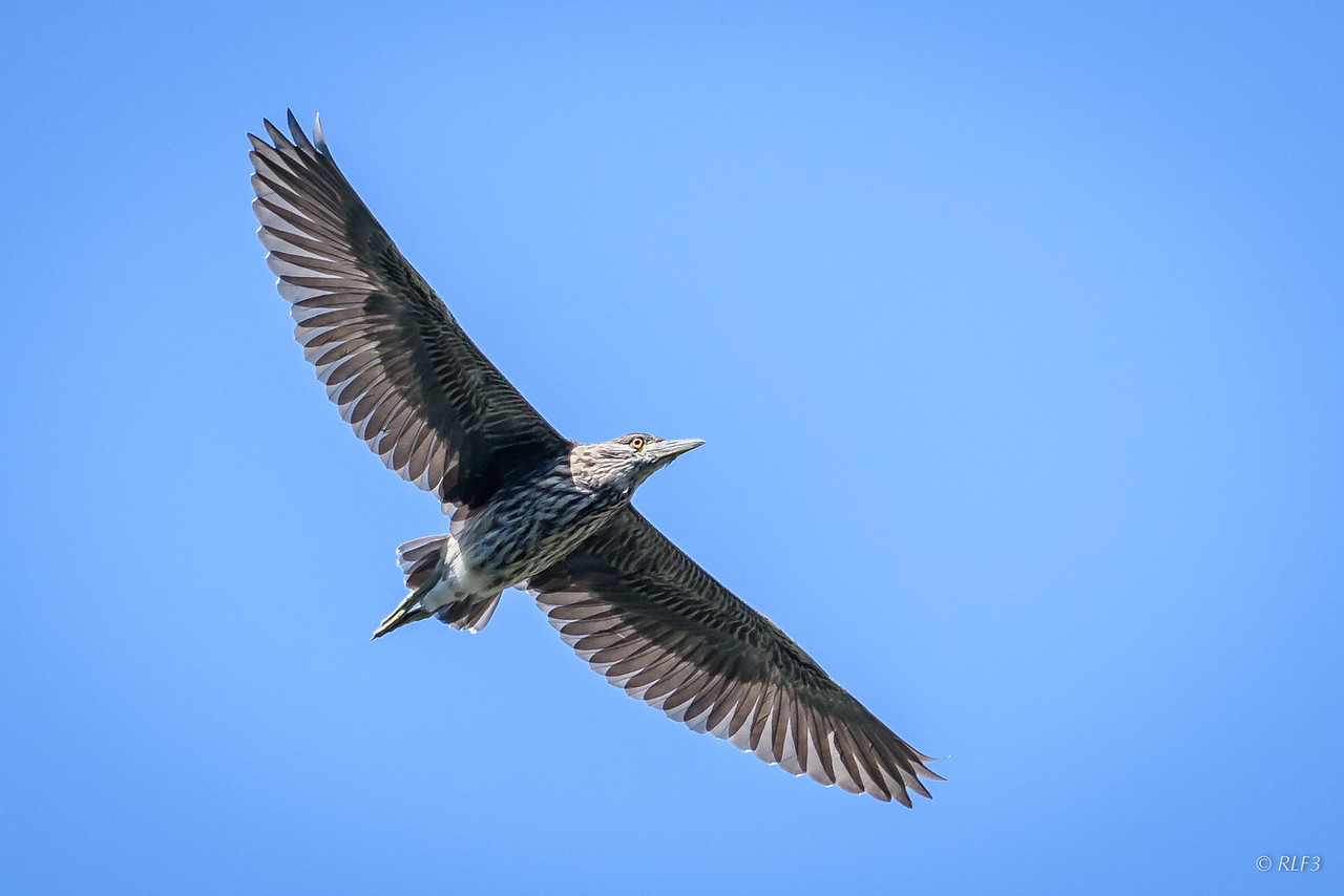 A juvenile Black-Crowned Night Heron.
